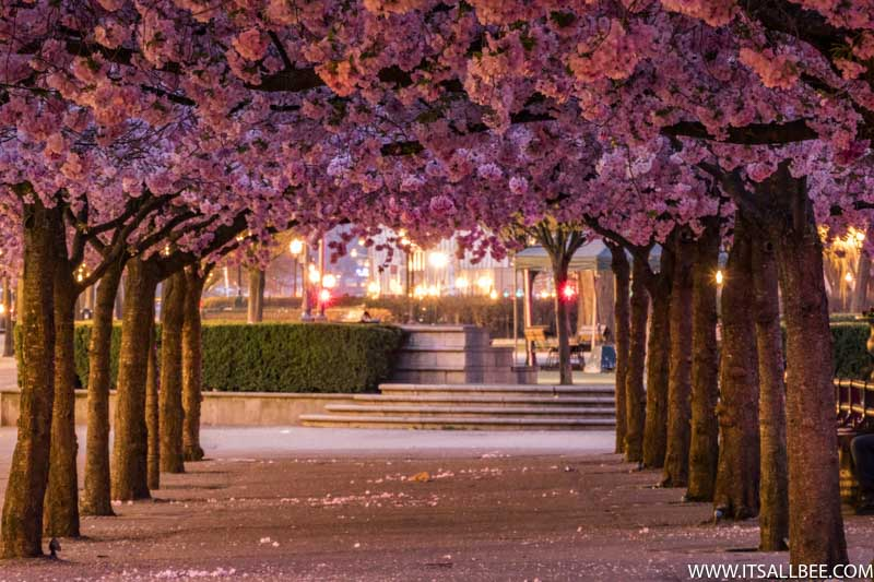 Cherry Blossoms In Europe