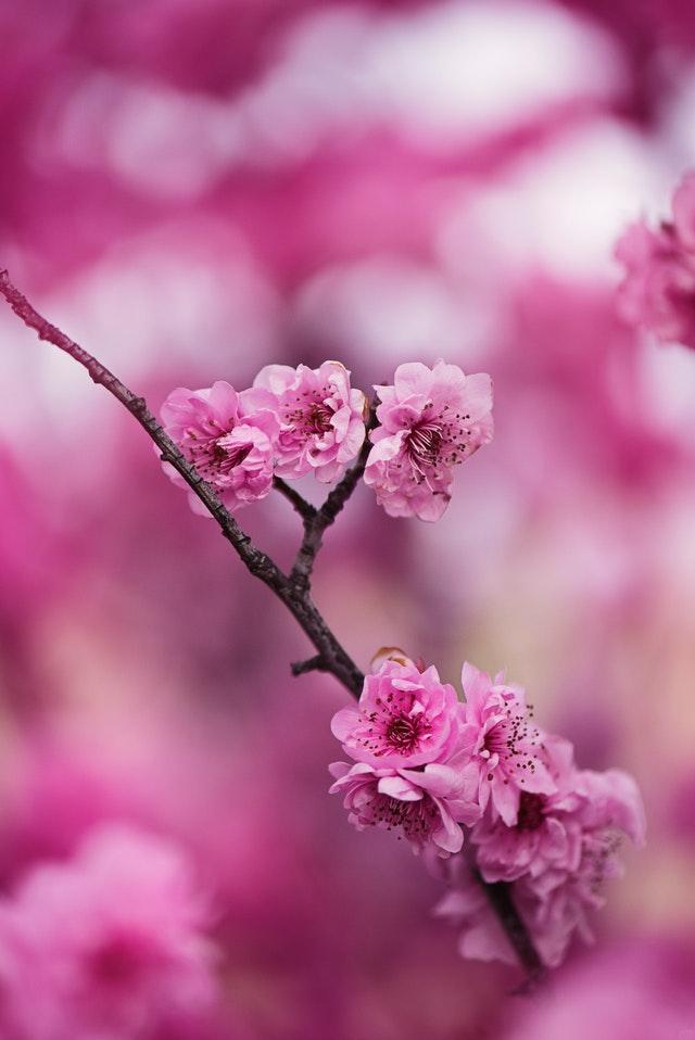 European Blossoms