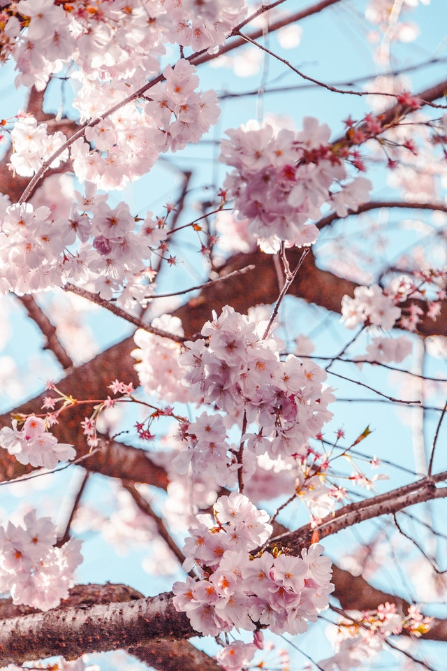 Cherry Blossom In Europe